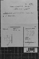 Tulasnella allantospora image