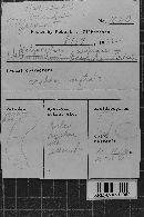 Image of Helicogloea farinacea