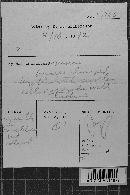 Botryobasidium ampullatum image