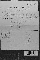 Botryobasidium subcoronatum image