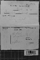 Dacryobolus sudans image