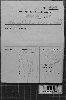 Gloeocystidiellum porosum image