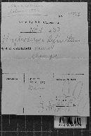 Hyphoderma definitum image