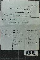 Hyphodermella corrugata image