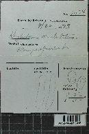 Hyphoderma cristulatum image