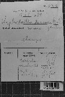 Hyphodontia floccosa image