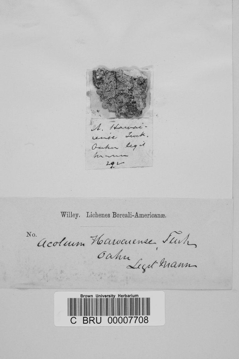 Acolium hawaiense image