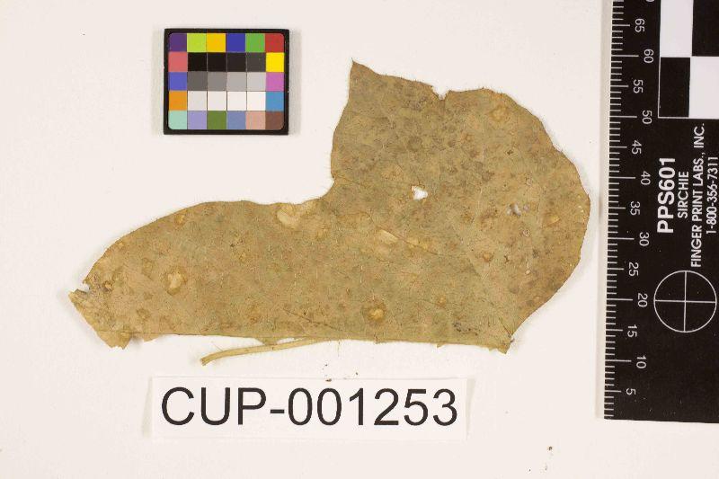 Pseudocercospora stahlii image