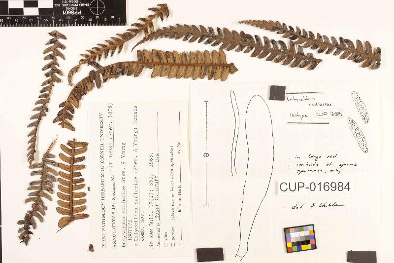 Calycellina sadleriae image