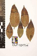 Image of Pestalotia leucothoes