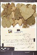 Image of Cercospora turbinae