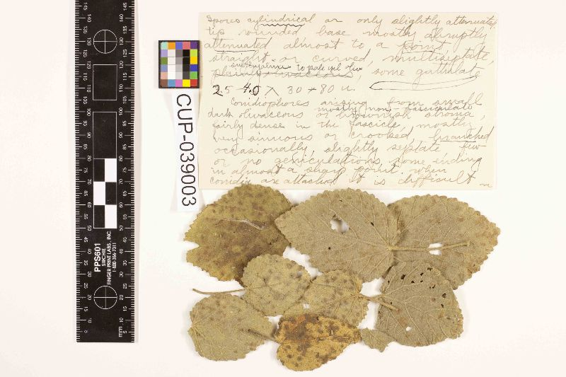 Pseudocercospora abutilonicola image