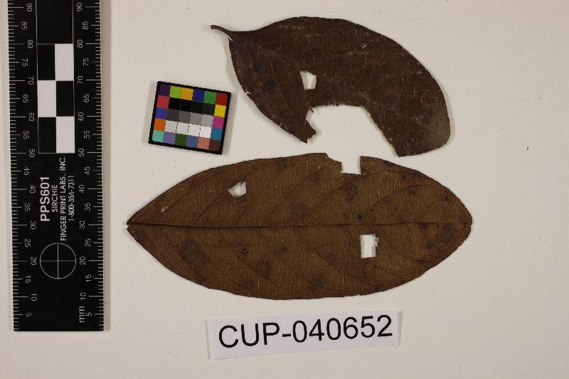 Pseudocercospora psidii image