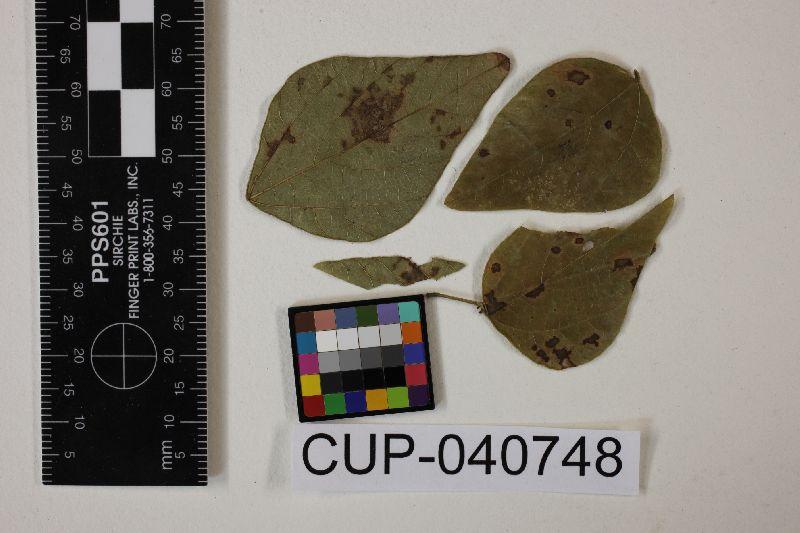 Cercospora amphicarpaeae image