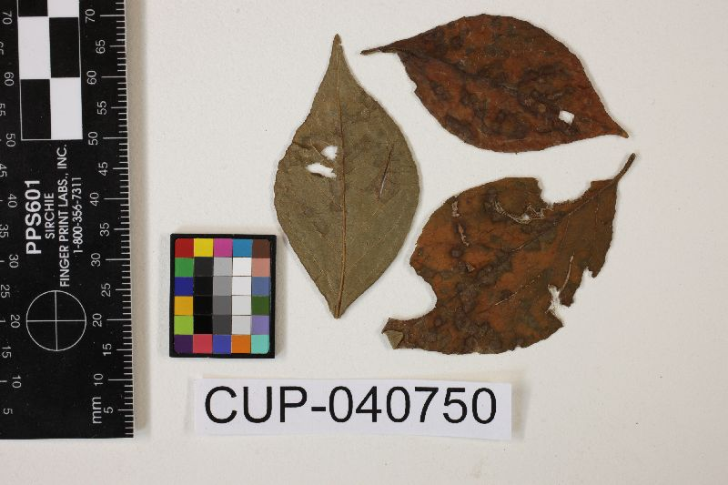 Pseudocercospora fukuokaensis image