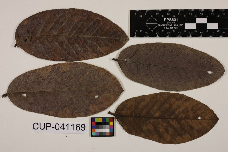 Pseudocercospora sawadae image