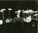 Tetrapyrgos nigripes image