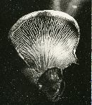 Tapinella panuoides image