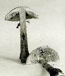 Limacella guttata image