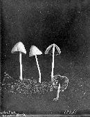 Conocybe lateritia image
