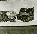 Hohenbuehelia grisea image