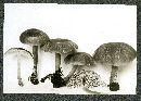 Clitocybula lacerata image