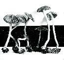 Inocybe asterospora image