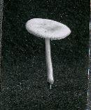 Pluteus tomentosulus image