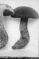 Russula badia image