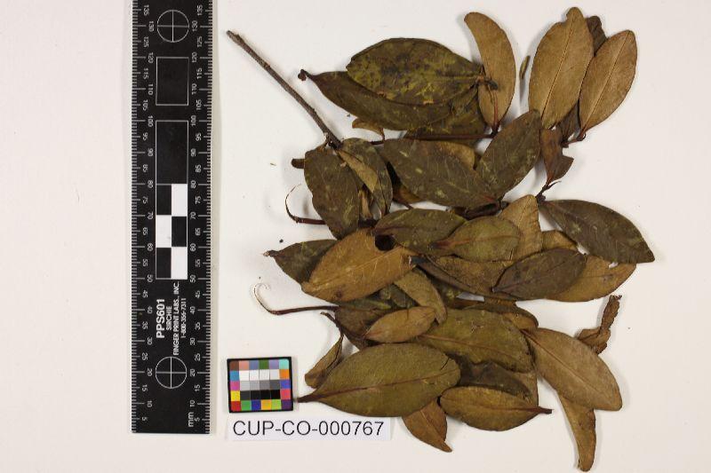 Caribaeomyces tetrasporus image