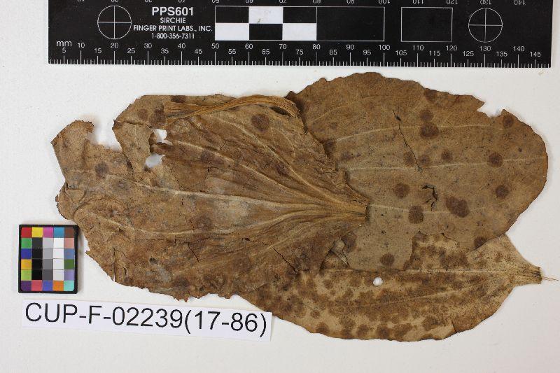 Mycosphaerella columbi image