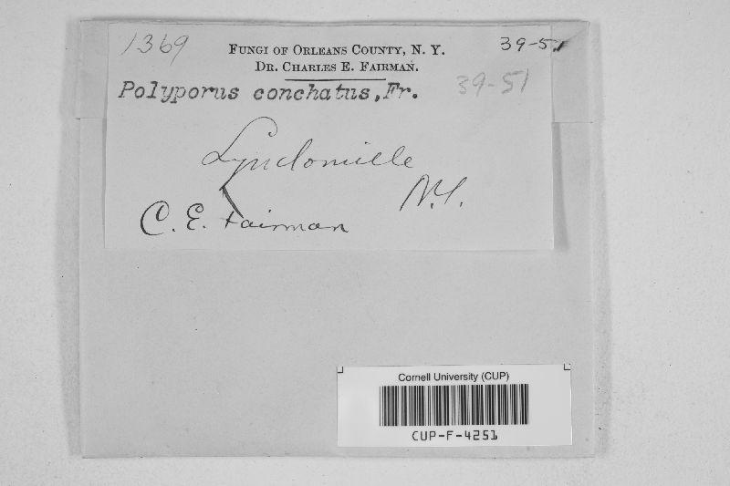 Polyporus conchatus image