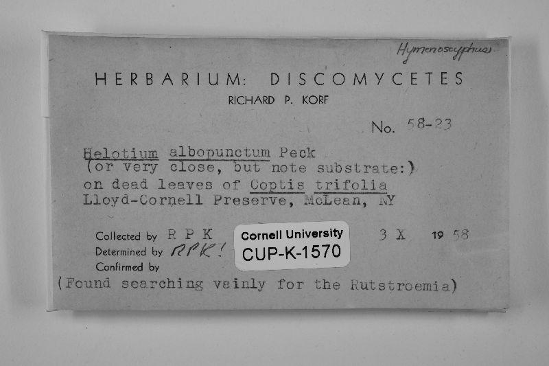 Hymenoscyphus albopunctus image