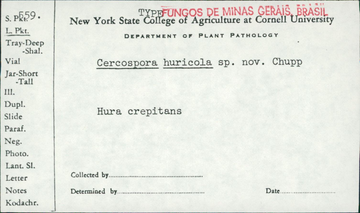 Cercospora huricola image