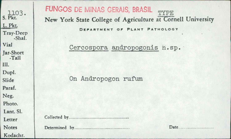 Cercospora andropogonis image