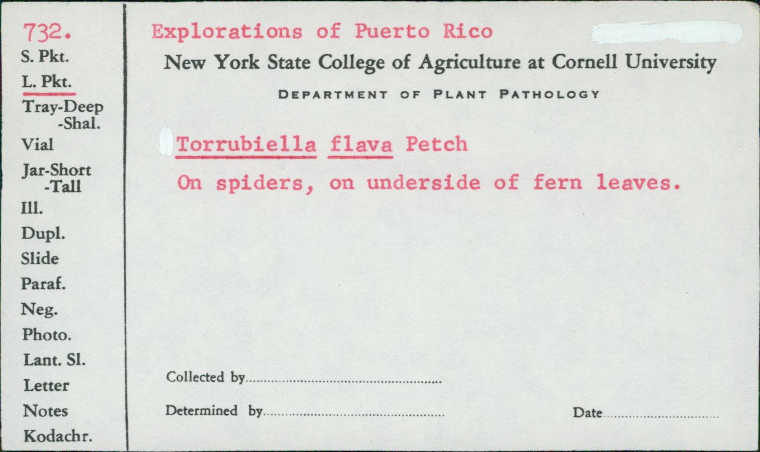 Torrubiella flava image