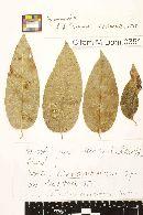 Image of Meliola cumbrensis