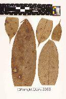 Image of Meliola misantecae