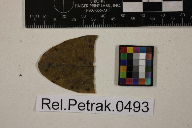 Plochmothea monninae image