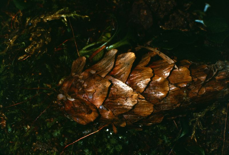 Helotium nyssicola image