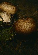 Lycoperdon nigrescens image