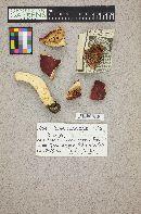 Russula americana image