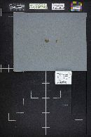 Ripartites tricholoma image