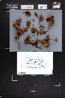 Homophron spadiceum image