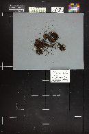Image of Clitocybe scyphoides