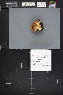 Pycnoporellus alboluteus image