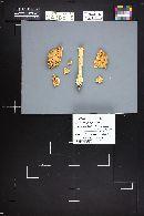 Amanita pantherina var. multisquamosa image