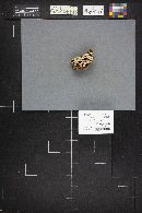 Phlebia tremellosus image