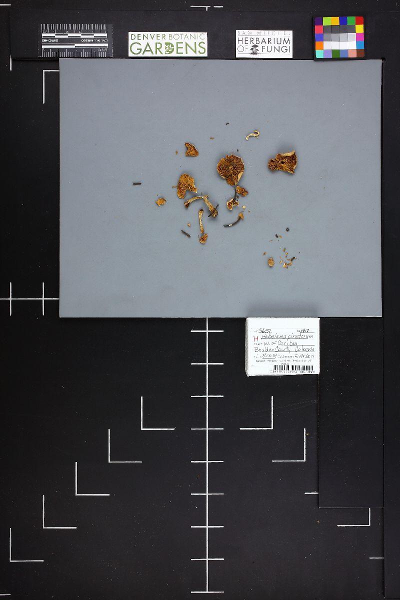Hebeloma pinetorum image
