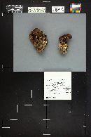 Lyophyllum loricatum image